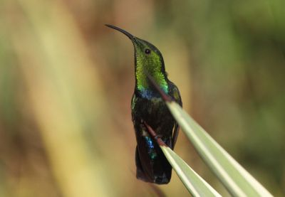 green throated hummingbird ralph.jpg